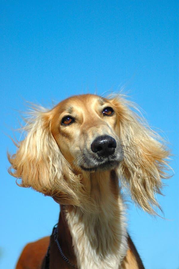 Het portret van de de hondenhond van Saluki royalty-vrije stock foto