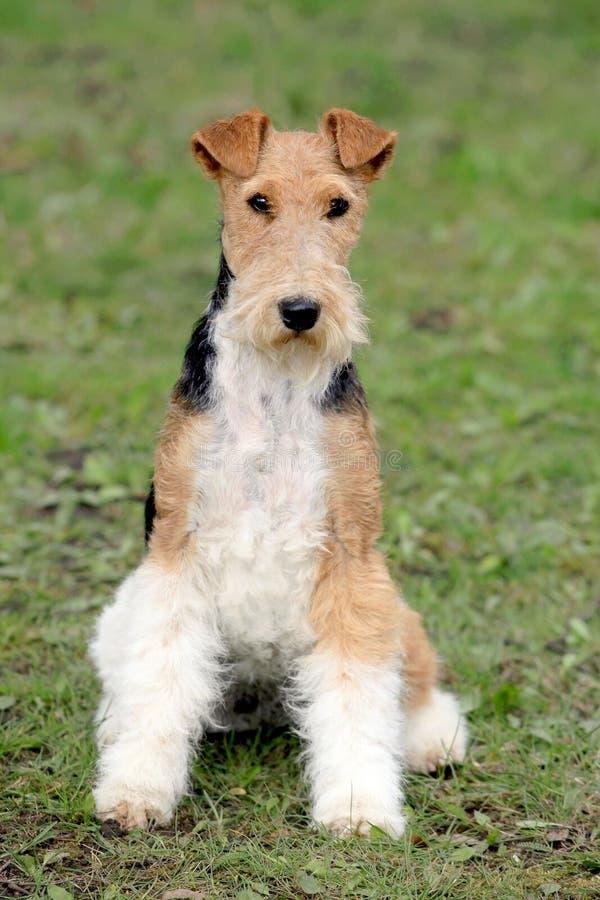 De Draad van de fox-terrier in de de herfsttuin royalty-vrije stock fotografie