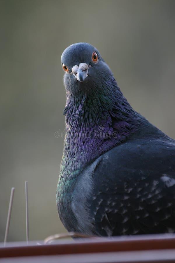 Download Het portret van de duif stock afbeelding. Afbeelding bestaande uit dier - 283481