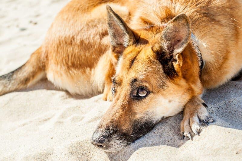 Het portret van de familiehond stock afbeeldingen