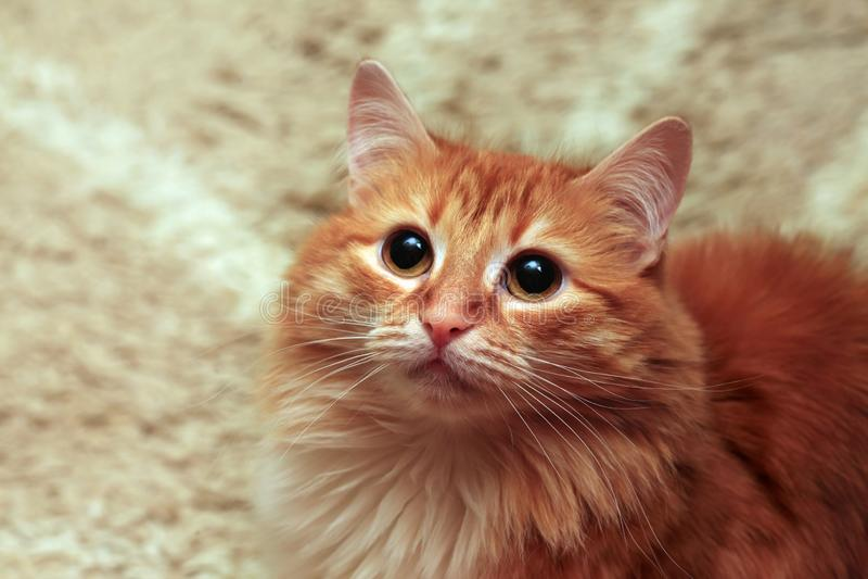 Het portret van de gemberkat Close-up van een kattenhoofd royalty-vrije stock afbeelding
