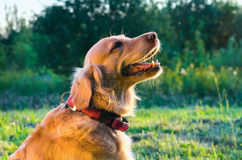 Het portret van de golden retrieverhond in profiel op aard royalty-vrije stock fotografie