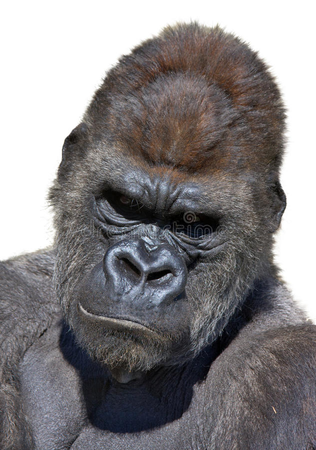 Het portret van de gorilla in verticaal royalty-vrije stock afbeelding