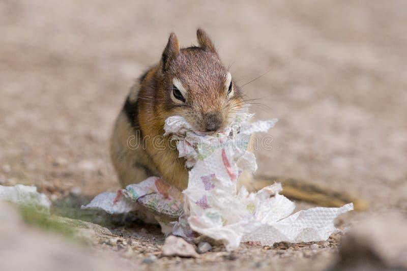 Het portret van de grondeekhoorn terwijl het eten van document stock foto's