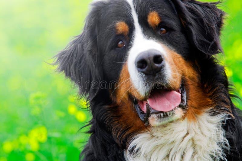 Het portret van de Hond van de Berg van Bernese royalty-vrije stock afbeelding