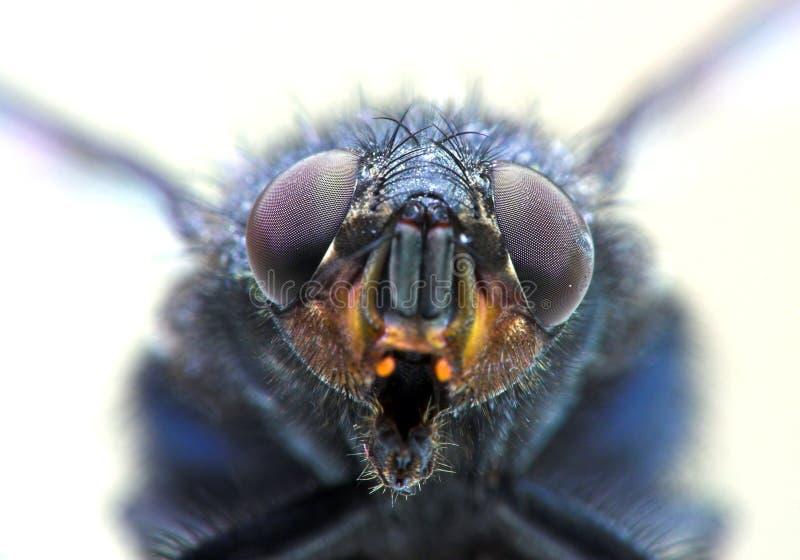 Het portret van de huisvlieg stock afbeelding