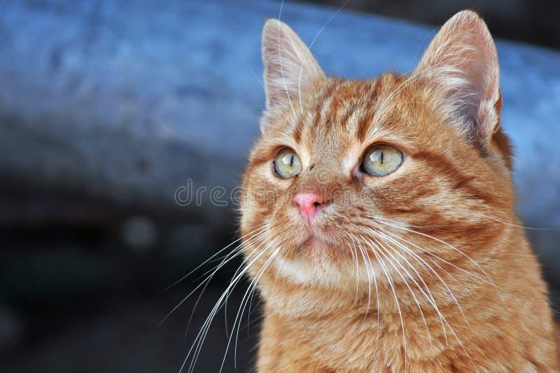 Het portret van de kat stock foto's