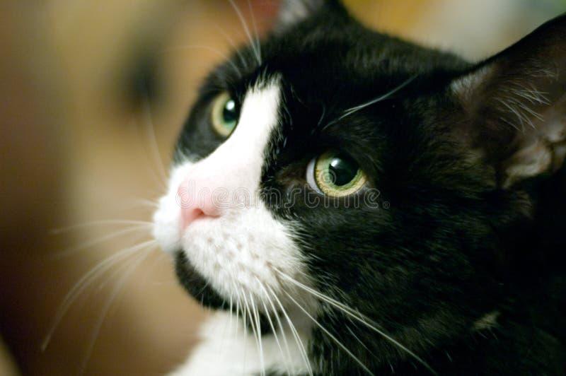 Het portret van de kat stock foto