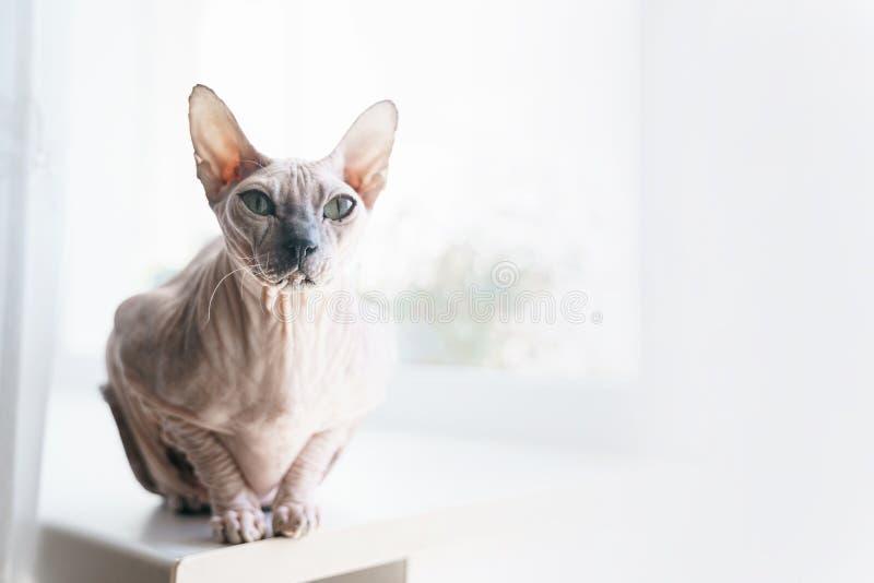 Het portret van de kat van Don Sphynx is grote zitting op de vensterbank royalty-vrije stock foto's