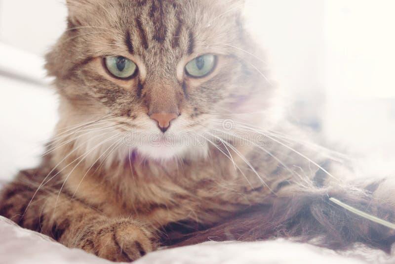 Het portret van de kat Mooie gestreepte katkat die op bed en ernstig loo liggen stock fotografie