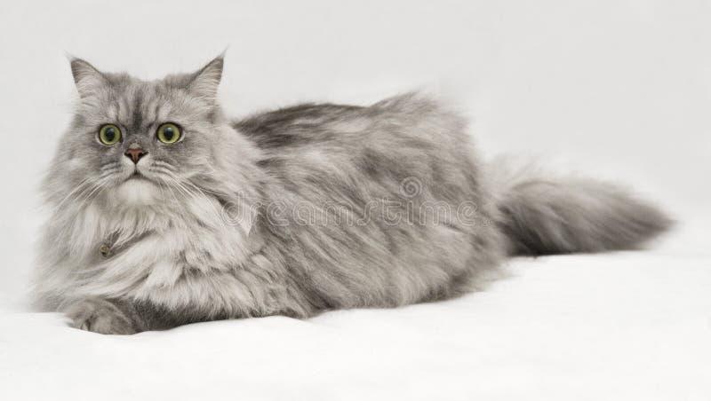Het Portret van de kat op Witte Achtergrond #2 stock foto