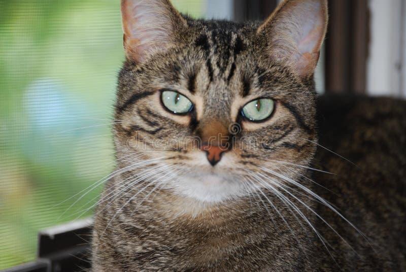 Het Portret van de Kat van de gestreepte kat royalty-vrije stock fotografie