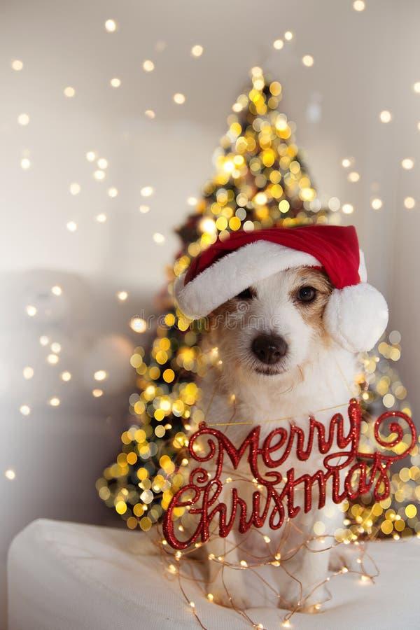 Het Portret van de Kerstmishond GRAPPIG JACK RUSSELL-PUPPY DIE RODE SANTA CLAUS-HOED EN EEN VROLIJK KERSTMISteken DRAGEN ONDER KE royalty-vrije stock foto