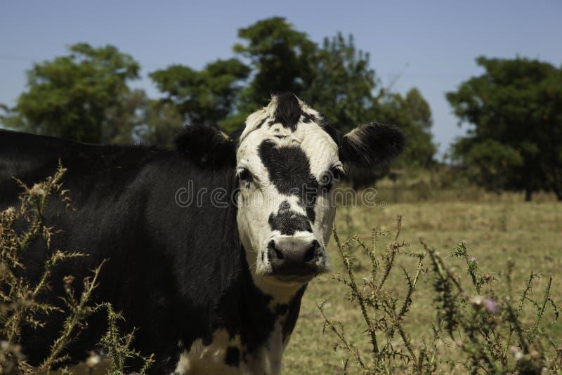 Het portret van de koe royalty-vrije stock fotografie