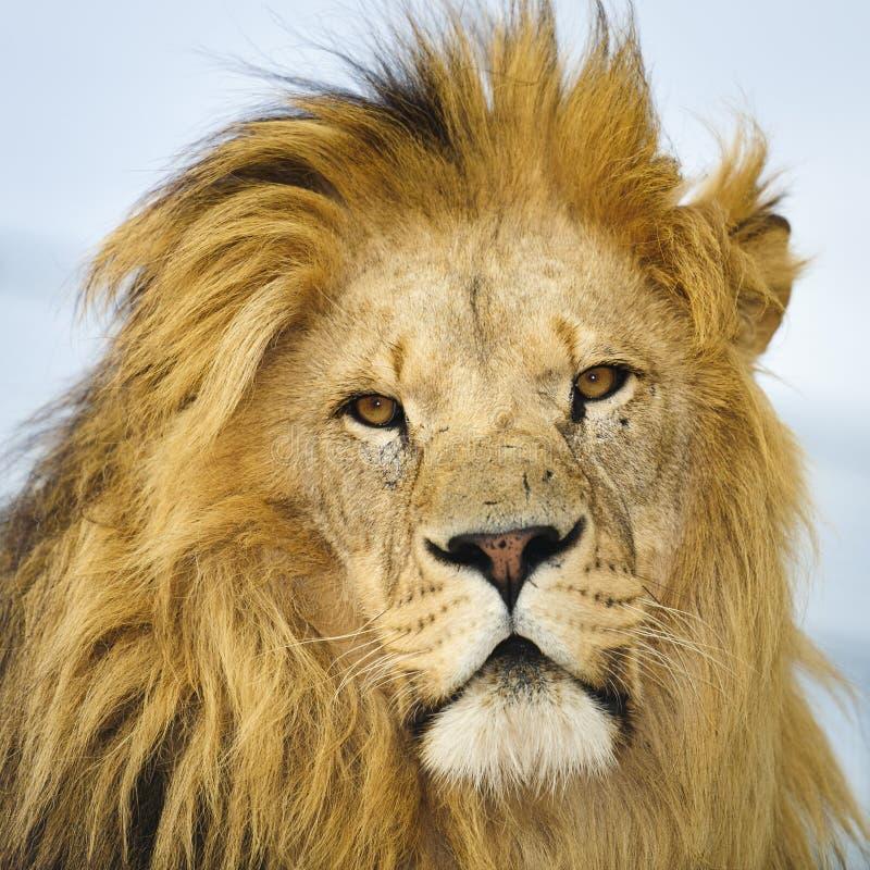 Het portret van de leeuw royalty-vrije stock afbeeldingen