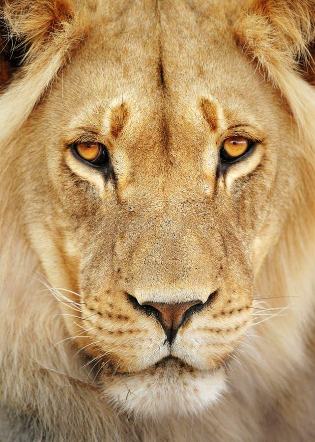 Het portret van de leeuw royalty-vrije stock fotografie