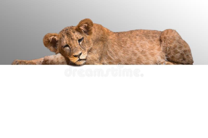 Het portret van de leeuwwelp royalty-vrije stock foto's