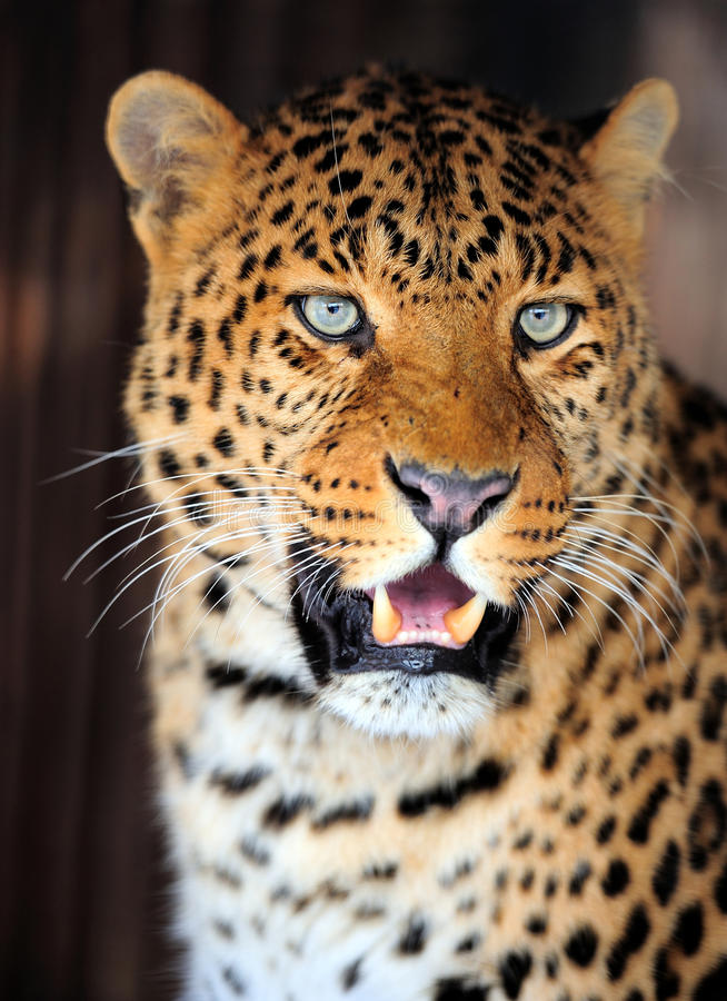 Het portret van de luipaard royalty-vrije stock afbeelding