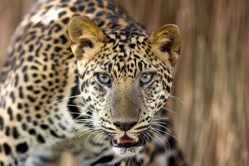 Download Het Portret Van De Luipaard Stock Foto - Afbeelding bestaande uit zoogdier, gevaar: 29503796