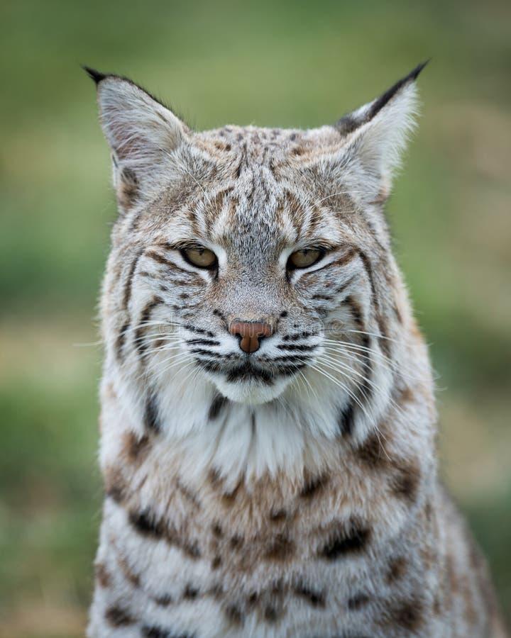Het portret van de lynx royalty-vrije stock foto