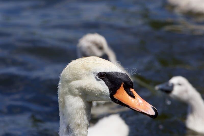 Het portret van de moeder-zwaan en haar kuikens op de achtergrond stock afbeeldingen
