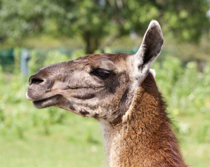 Het portret van de mooie lama met de grasachtergrond royalty-vrije stock foto's