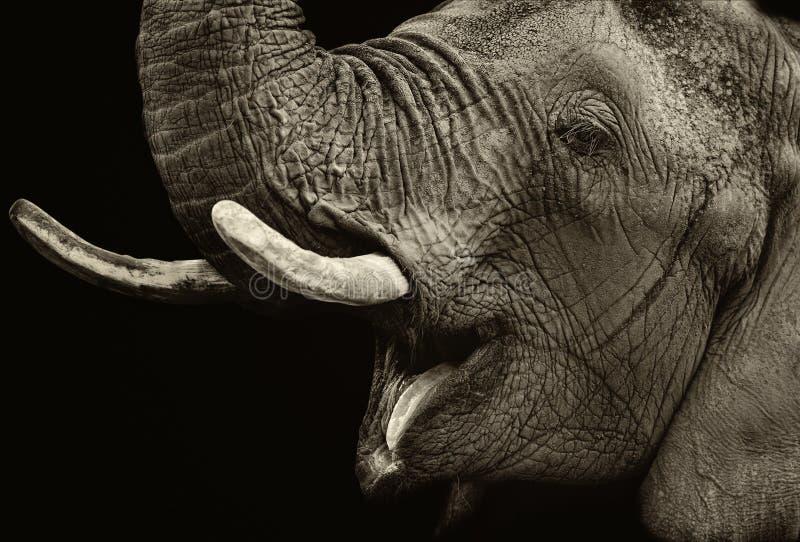 Het portret van de olifant royalty-vrije stock foto