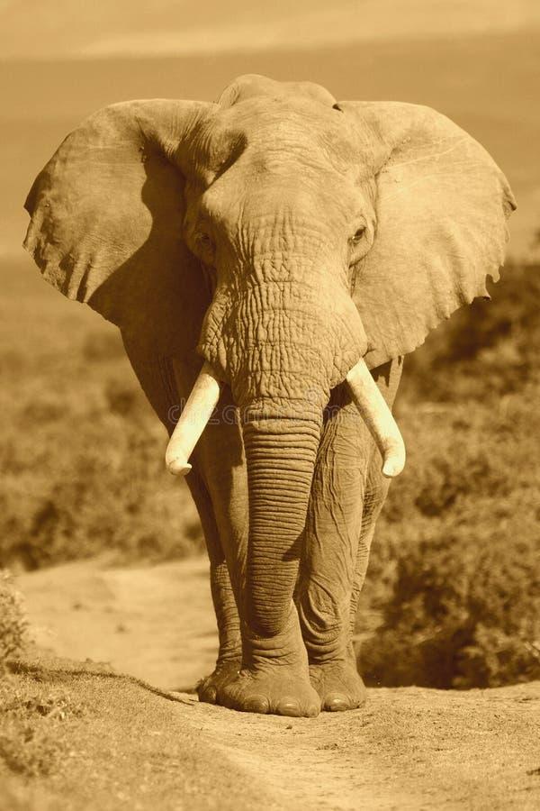 Het Portret van de olifant stock afbeeldingen