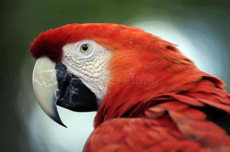 Het portret van de papegaai stock fotografie
