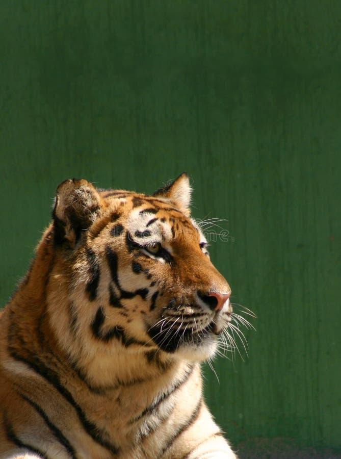 Download Het portret van de tijger stock foto. Afbeelding bestaande uit wildlife - 48836