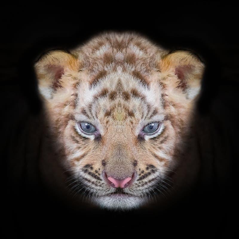 Het portret van de tijgerbaby van de tijger van Bengalen royalty-vrije stock fotografie