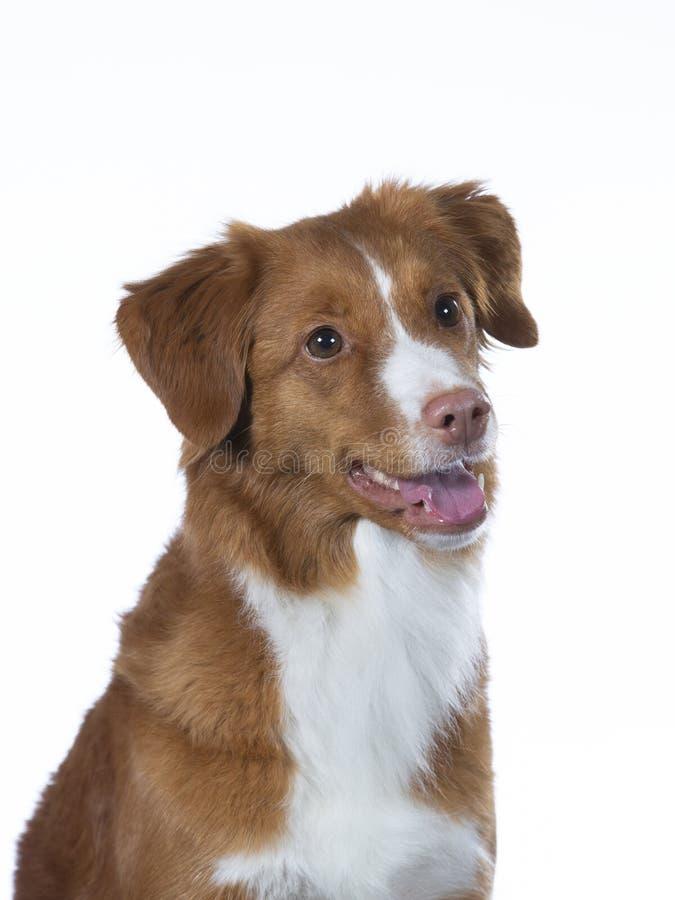 Het portret van de Tollerhond in een studio met witte achtergrond royalty-vrije stock foto's
