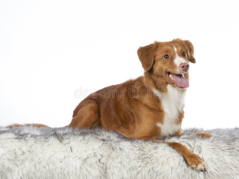 Het portret van de Tollerhond in een studio met witte achtergrond royalty-vrije stock afbeeldingen