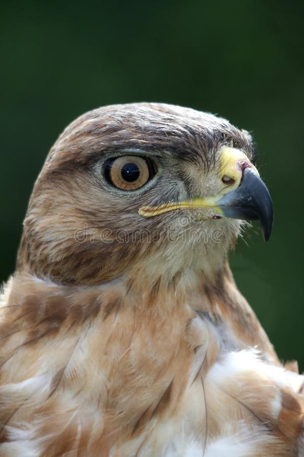 Het Portret van de Vogel van de vlieger stock fotografie