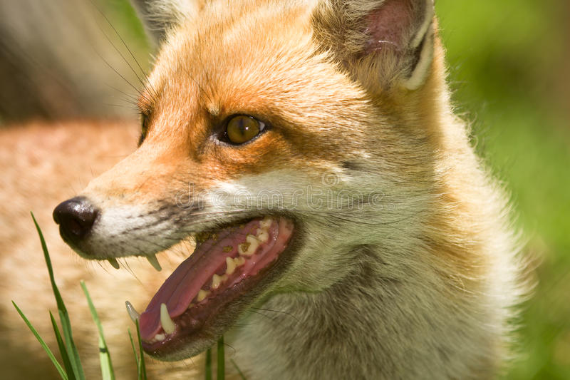 Het portret van de vos stock afbeeldingen