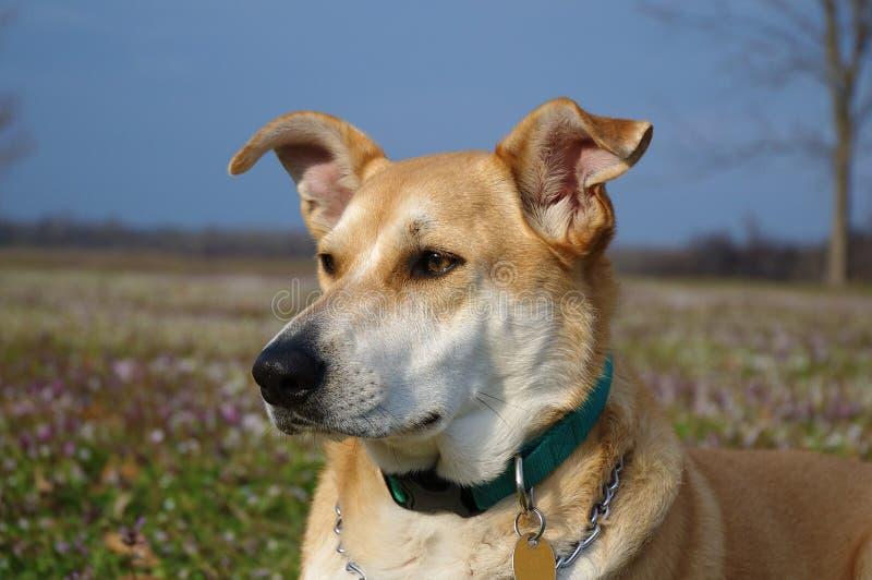 Het Portret van de Weide van de hond van Carolina stock afbeelding