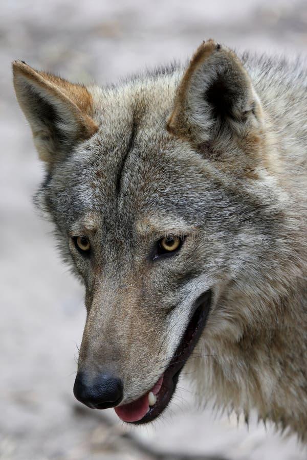 Het Portret van de Wolf van het hout stock afbeelding