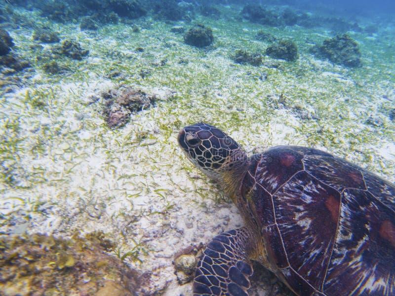 Het portret van de zeeschildpadclose-up Koraalrif dierlijke onderwaterfoto royalty-vrije stock foto
