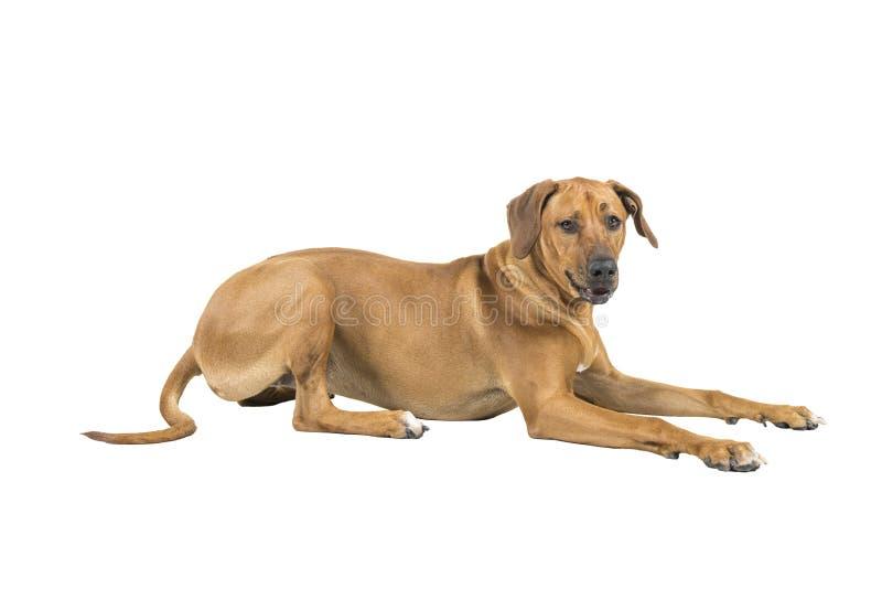 Het portret van een hond van Rhodesian Ridgeback op een witte studio wordt geïsoleerd als achtergrond schoot het liggen zijmanier stock afbeeldingen