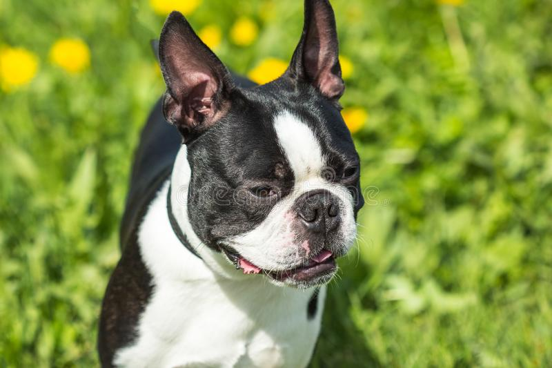 Het portret van een hondras is zwart-witte mede van Boston Terrier royalty-vrije stock afbeeldingen