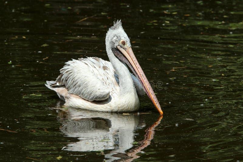 Het portret van een pelikaan stock afbeelding