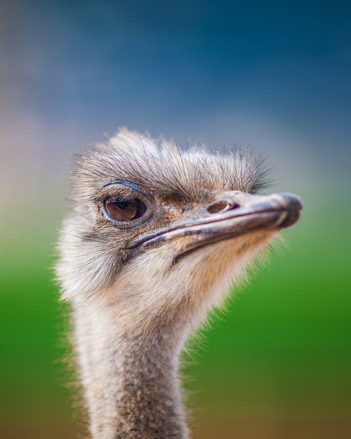 Het portret van een Struisvogel, sluit omhoog royalty-vrije stock fotografie