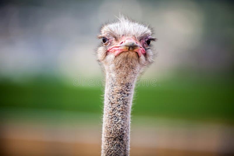 Het portret van een Struisvogel, sluit omhoog royalty-vrije stock afbeelding