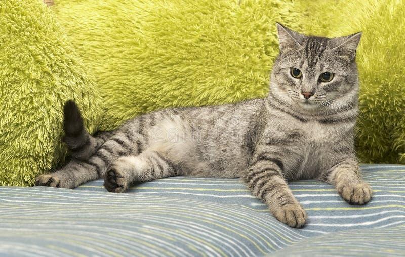 Het portret van elegante grijze nieuwsgierige Kat, kat op bed, katje op een bank, kattenportret, katje met groene ogen sluit omho stock afbeelding