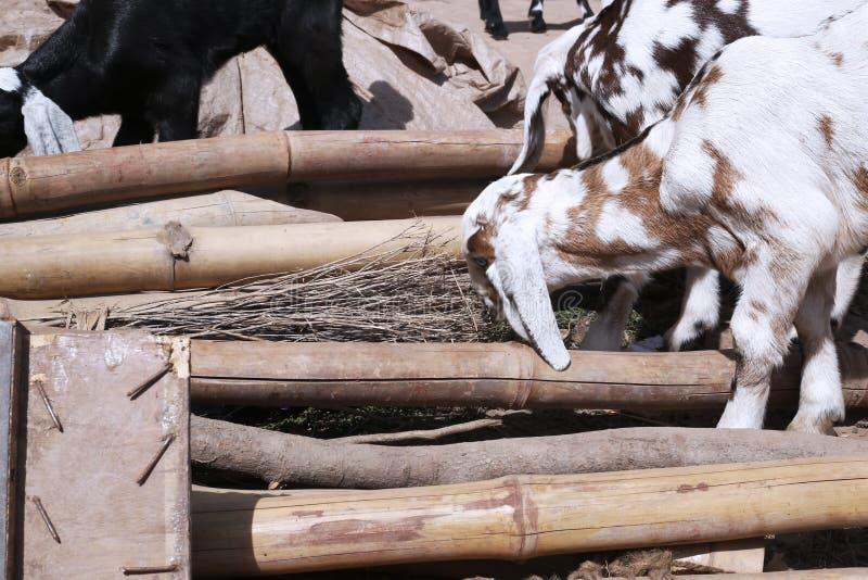 Het portret van geit eet droog gras royalty-vrije stock fotografie