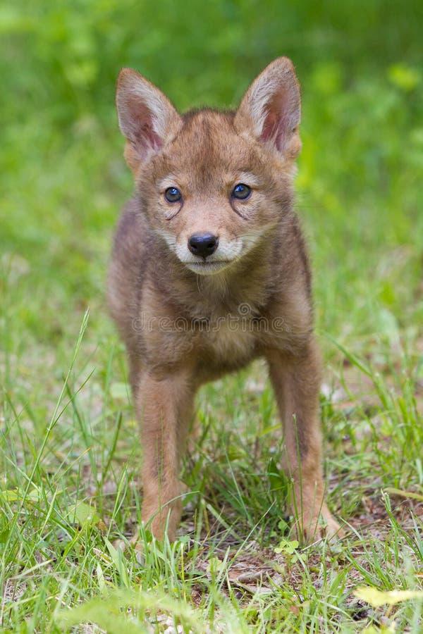 Het portret van het coyotejong stock fotografie