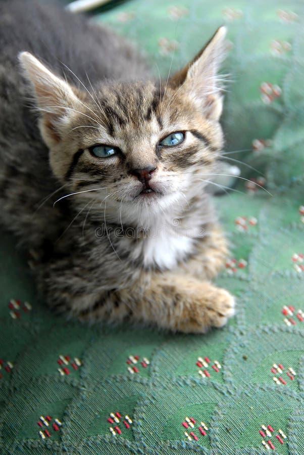 Het portret van het katje stock fotografie