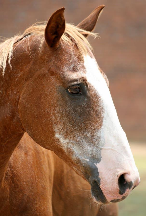 Het Portret van het Paard van de kastanje stock fotografie
