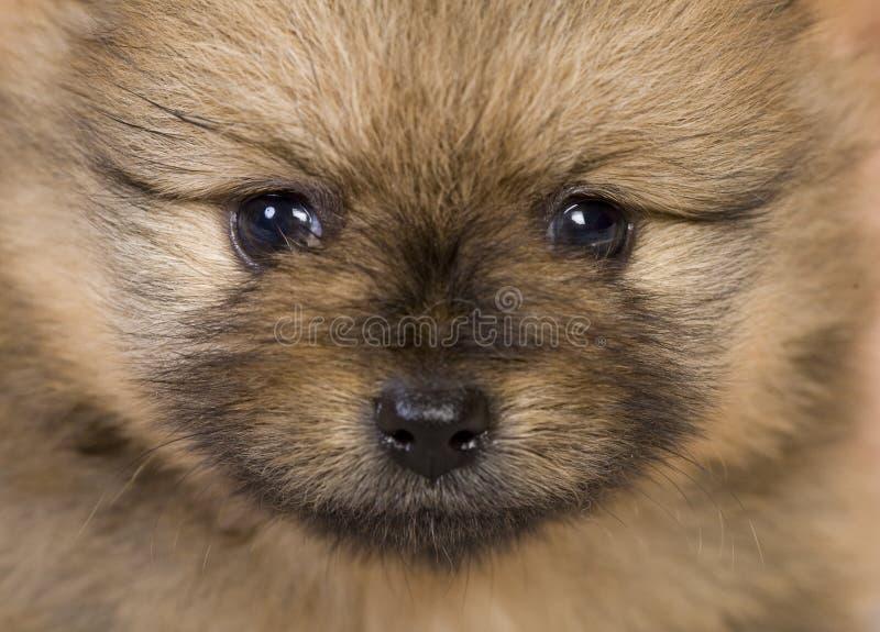 Het portret van het puppy stock fotografie