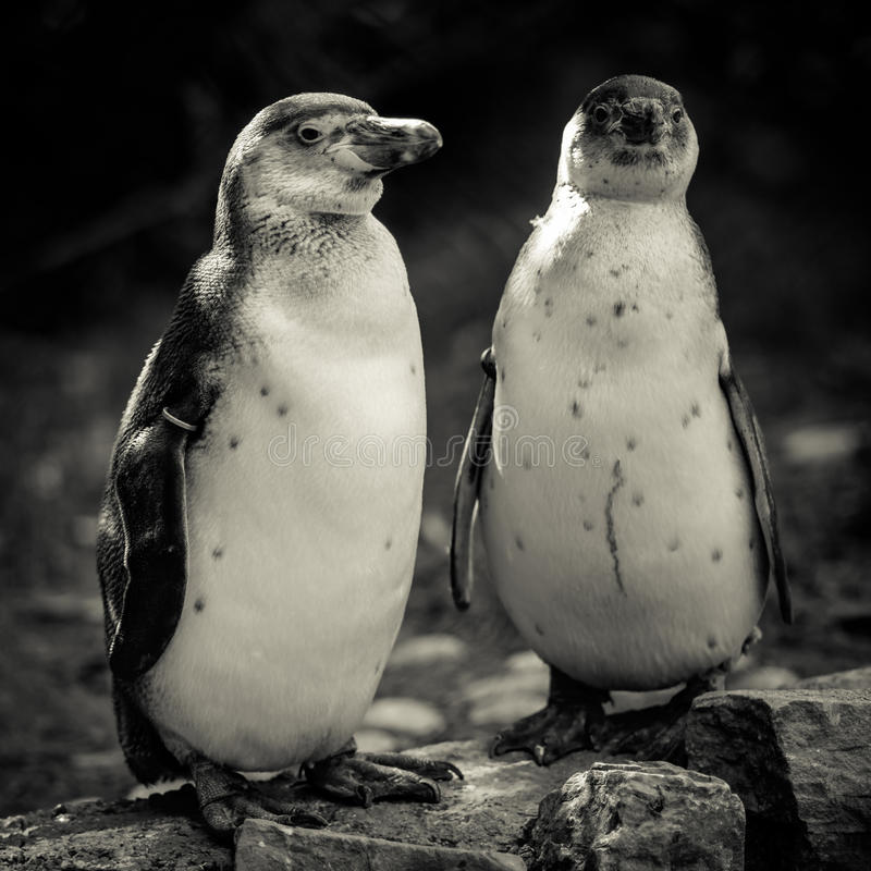 Het portret van Humboldtpinguïnen royalty-vrije stock fotografie